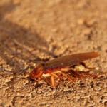 ゴキブリを使って火星のテラフォーミングってできる!?